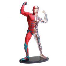 Anatomimodel - Muskler og skelet