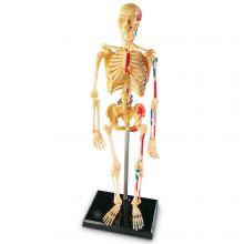 Anatomimodel - Skelet