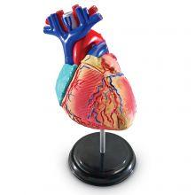 Anatomimodel - Hjerte