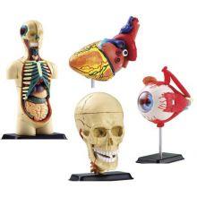 Anatomimodel - Sæt m. 4 modeller